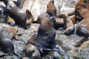 Seals and Sea Lion on Islas Palomino