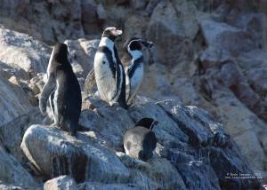 Day 7. Humboldt Penguins on Islas Ballestas.